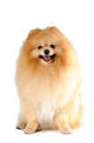 Spitz van Pomeranian zitting die op wit wordt geïsoleerdg Stock Afbeeldingen