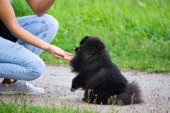 Spitz van puppypomeranian luistert aan de eigenaar en oefent functies op het bevel uit stock fotografie