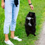 Spitz van puppypomeranian luistert aan de eigenaar en oefent functies op het bevel uit stock foto's
