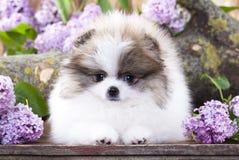 Spitz white and lilac color. Pomeranian Spitz white and lilac color royalty free stock image