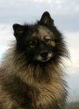 Spitz wolf. Purebreed spitz wolf: attentive watching dog, cute in blue sky Stock Images