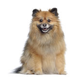 Spitz, 3 years old, sitting and panting Royalty Free Stock Image