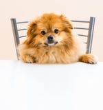 Spitz zit bij de lijst aangaande een stoel royalty-vrije stock foto