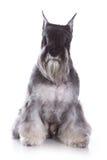 Spitz Zwerg puppy Royalty Free Stock Image
