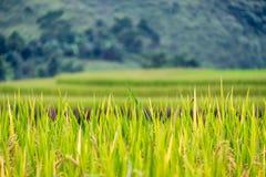 Spitze auf Reisfeld im Tal auf natürlichem Hintergrund Stockfotografie