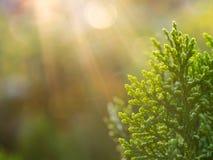 Spitze der chinesischen Arborvitae-Anlage Stockfotografie
