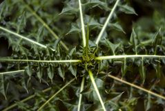 Spitze der stacheligen Anlage des Familie Asteraceae Lizenzfreie Stockfotografie