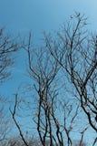 Spitze der toten Bäume mit bewölktem Himmel Lizenzfreies Stockbild