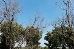 Spitze der toten Bäume mit bewölktem Himmel Stockfoto