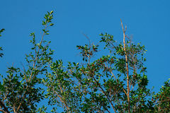 Spitze des Baums mit klarem Hintergrund des blauen Himmels Lizenzfreie Stockfotos