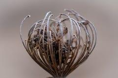 Spitze des getrockneten Herzens formte wilde Blume - selektiven Fokus Lizenzfreie Stockbilder