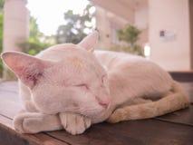 Spitze des Katzenschlafes auf dem Tisch mit Krankem im Bein Stockfoto