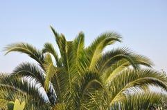 Spitze des tropischen subtropischen horizontalen Bildhintergrundes der Palme Lizenzfreie Stockfotos