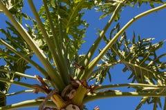 Spitze einer Palme mit zahlreichen grünen Wedeln in allen Richtungen stellte gegen einen tiefen blauen Himmel ein Lizenzfreie Stockbilder