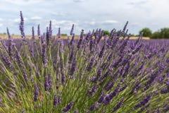 Spitze eines Lavendelplanes mit Weizen auf dem Horizont Stockbilder