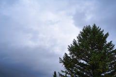Spitze eines Tannenbaums mit bewölktem drastischem Himmel als Hintergrund Stockbilder