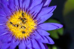 Spitze und Großaufnahme von den Bienen, die über dem Blütenstaub des purpurroten Lotos schwärmen Stockfotos
