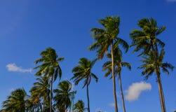 Spitze von Kokosnussbäumen unter blauem Himmel Stockfotos