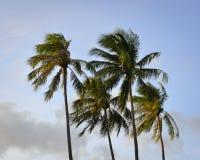 Spitze von Kokosnussbäumen unter blauem Himmel Lizenzfreie Stockfotos