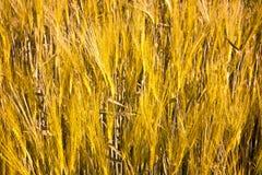 Spitze von Mais im Wind Lizenzfreie Stockfotos