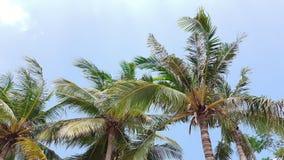 Spitze von Palmen mit blauem Himmel in einem Mittag Stockfoto