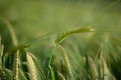Spitzen der Gerste/des Weizens Stockfotografie