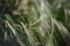 Spitzen der Gerste/des Weizens Stockfoto