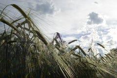 Spitzen der Gerste/des Weizens Stockbild