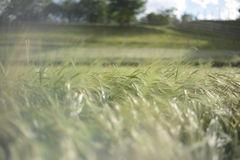 Spitzen der Gerste/des Weizens Lizenzfreie Stockfotos