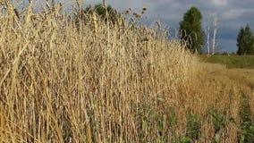 Spitzen des goldenen Weizens stock footage