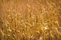 Spitzen des Weizens Stockfotos