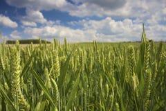 Spitzen des Weizens auf einem Gebiet mit einem blauen Himmel Lizenzfreie Stockfotos