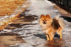 Spitzen, hunden, valp, blev på istrottoaren i solig dag för vinter Royaltyfria Foton
