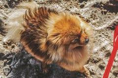 Spitzen, hunden, valp blir på sanden och ser till den röda pilbågen Royaltyfri Fotografi