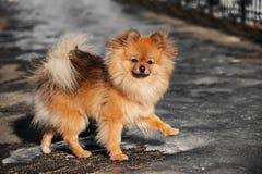 Spitzen, hunden, valp går på is och blick till dig ytterst Royaltyfri Foto