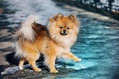 Spitzen, hunden, valp går på is och blick till dig ytterst Foto som göras i kalla signaler Royaltyfri Foto