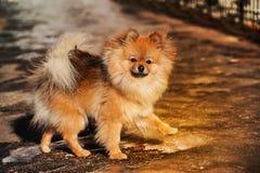 Spitzen, hunden, valp går på is och blick till dig ytterst Foto som göras i varma signaler Arkivfoto