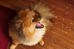Spitzen hunden, valpen, pomerian gäspningar och producerar gnistor från munnen Arkivfoton