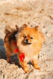 Spitzen hunden, vovve blir på sanden med den röda pilbågen och ser upp Royaltyfri Foto
