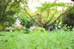Spitzenbaum des goldenen Tautropfens Stockfoto