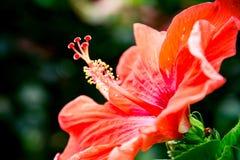 Spitzenblume, Stockfoto