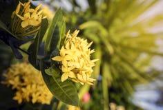 Spitzenblumengelb in der Natur Stockfotos