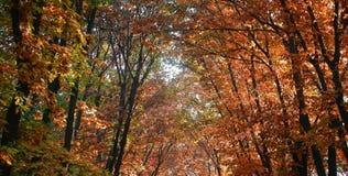 Spitzenniederlassungen von golden-leaved Bäumen Lizenzfreies Stockbild