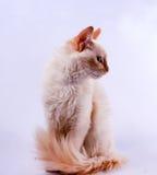 Spitzes Katzeprofil der Creme Stockfoto
