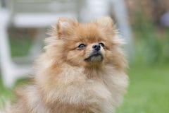 SpitzGerman波美丝毛狗 美丽的德国波美丝毛狗狗 德国波美丝毛狗n绿草背景的公园  免版税库存照片