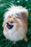 Spitzhund Lizenzfreies Stockfoto