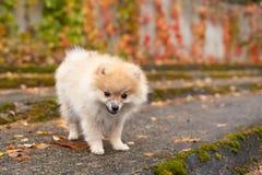 Spitzhundvalpen i höst parkerar royaltyfria bilder