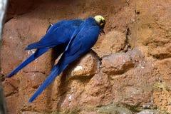 Spix macaw στοκ εικόνες