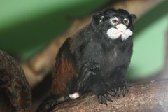 Spix moustached tamarin. On the wood Royalty Free Stock Images