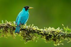 Spiza verde de Honeycreeper, de Chlorophanes, forma verde y azul Costa Rica de la malaquita tropical exótica del pájaro Tanager d foto de archivo